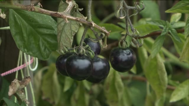 Horticultural Therapy for Inmates at Rikers Island Correctional Facility Black Tomatoes Grow at Rikers Island Garden at Rikers Island on November 04...