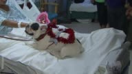 Hospital Patients Pet French Bull Dog Therapy Dog in Los Angeles on Feb 13 2015