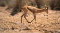 MS TS hot of male dorcas gazelle (Gazella dorcas) standing under Acacia tree in desert / Yotvata, Negev Desert, Israel