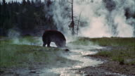 MS PAN Hot Springs bear in  yellowstone park