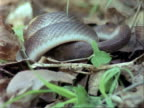 CU House Snake begins to eat mouse