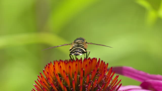 Hoverfly flapping its wings, rear view high speed closeup