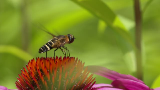Hoverfly flapping wings and moving mouthparts, high speed closeup