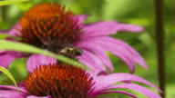 Hoverfly landing on Coneflower, medium high speed