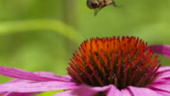 Hoverfly takeoff, hover and landing from pink Coneflower