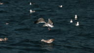Hovering gull