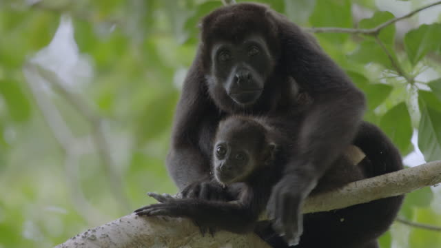 MS Howler Monkey and young monkey sitting on tree branch / Barro Colorado Island, Panama