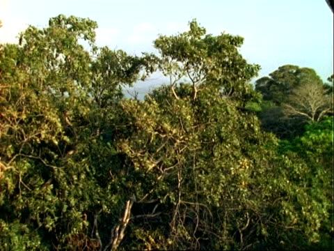 Howler Monkey (Alouatta), climbs to windy tree top, wide angle