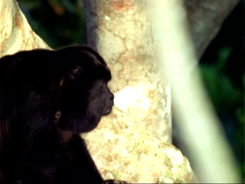 Howler Monkey (Alouatta) in tree  scratching and howling, close up.