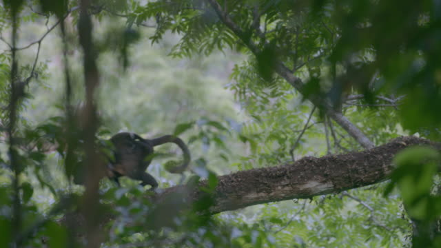 MS Howler monkey moving through trees in forest / Barro Colorado Island, Panama