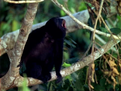 Howler Monkey (Alouatta) on branch, howling.