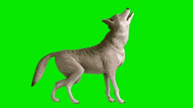Howling Wolf Green Screen (Loopable)