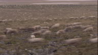 A huge caribou herd migrates across tundra. Available in HD.