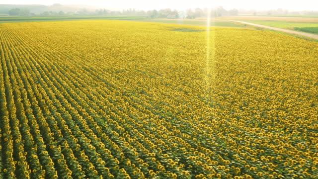 AERIAL Huge field of sunflowers