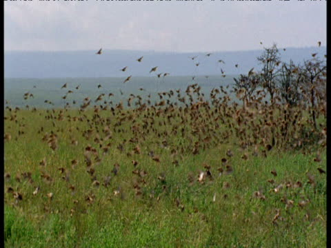 Huge flock of queleas take off over savanna
