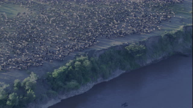 A huge herd of wildebeest congregates on a high riverbank in Masai Mara, Kenya. Available in HD.