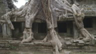 A huge tree grows over the the Ta Prohm temple at Angkor Wat in Cambodia.