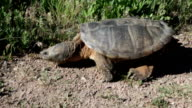Huge wild snapping turtle walking outside Denver Colorado