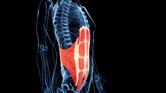 Human abdominals
