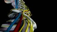 Menschliche Anatomie (Male) 02