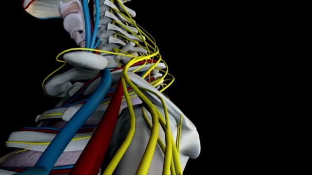Human Anatomy (Male) 02