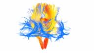 Human brain pathways