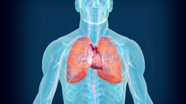 Cardiovascolare sistema circolatorio.