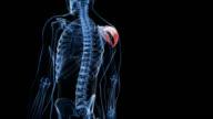 Human deltoid muscle