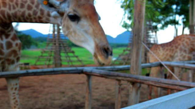 Human feed to giraffe