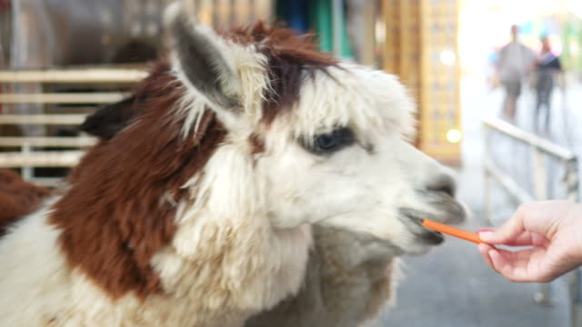 human hand feeding carrot for alpaca