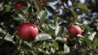 ECU Human hand picking organic apples from tree / Brodowin, Brandenburg, Germany