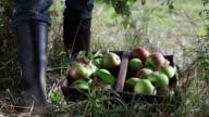 CU Human hand putting picked organic apples in basket on ground / Brodowin, Brandenburg, Germany