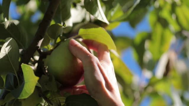Human Hands Gathering Fresh Apples from the Apple Tree