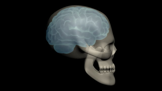 Human head with brain and skull