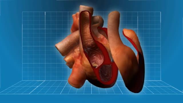 Battito del cuore umano-animazione a coda di rondine