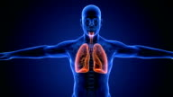 Human Lung Respiratory System scan