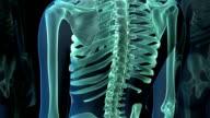 Human spine, animation