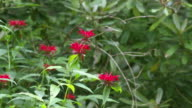 Hummingbird feeds and flutters on Monarda, high speed