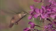 Hummingbird (Trochilidae) feeds on flowering fireweed (Chamerion angustifolium), Yellowstone, USA