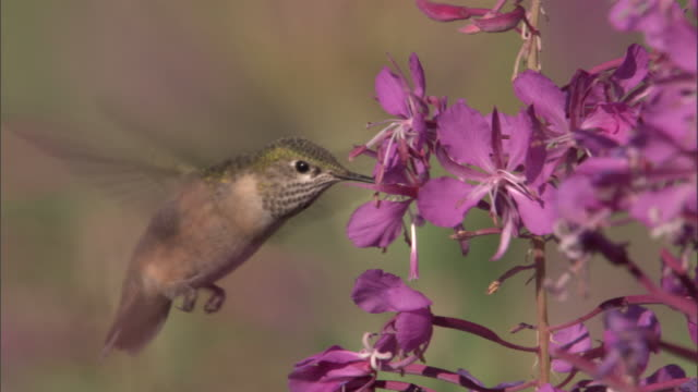 Hummingbird (Trochilidae) feeds on flowering fireweed (Chamerion angustifolium), Yellowstone, USA