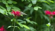 Hummingbird flies away from Monarda flower, high speed