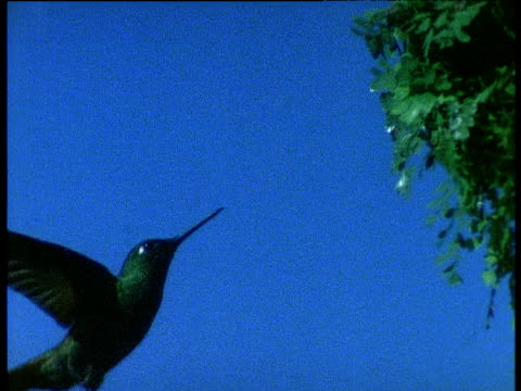 Hummingbird hovers and feeds from plant