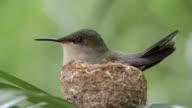 Hummingbird in it's nest / Barbados, Carribbean