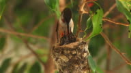 A hummingbird mother returns to her nest with two baby chicks eagerly awaiting to be force fed by her long beak