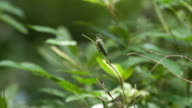 Hummingbird takes off from twig perch, high speed