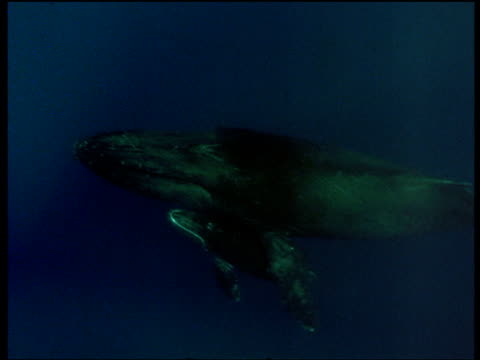 Humpback calf swims next to mother, adult's flipper rests on its back, Hawaii