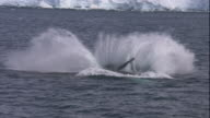 A humpback whale breaches with a splash in the Southern Ocean. Available in HD.