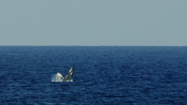Megattera Balzare fuori dall'acqua in mare hawaiani