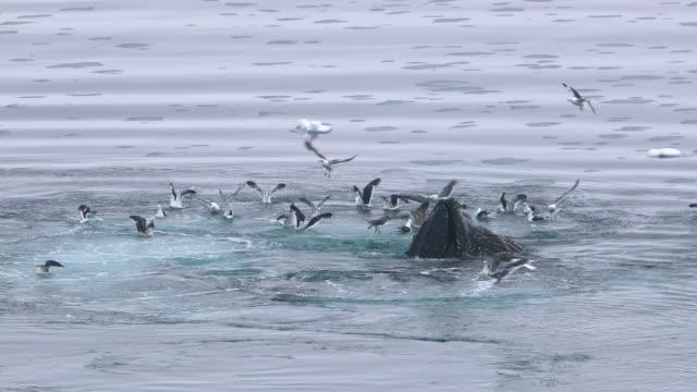 Humpback Whale Bubble-net Feeding amongst flock of Kelp Gulls