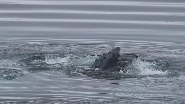 Humpback Whale Bubble-net Feeding
